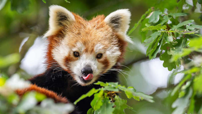 Marwell-Zoo-Red-Pandas-Wildlife-Park