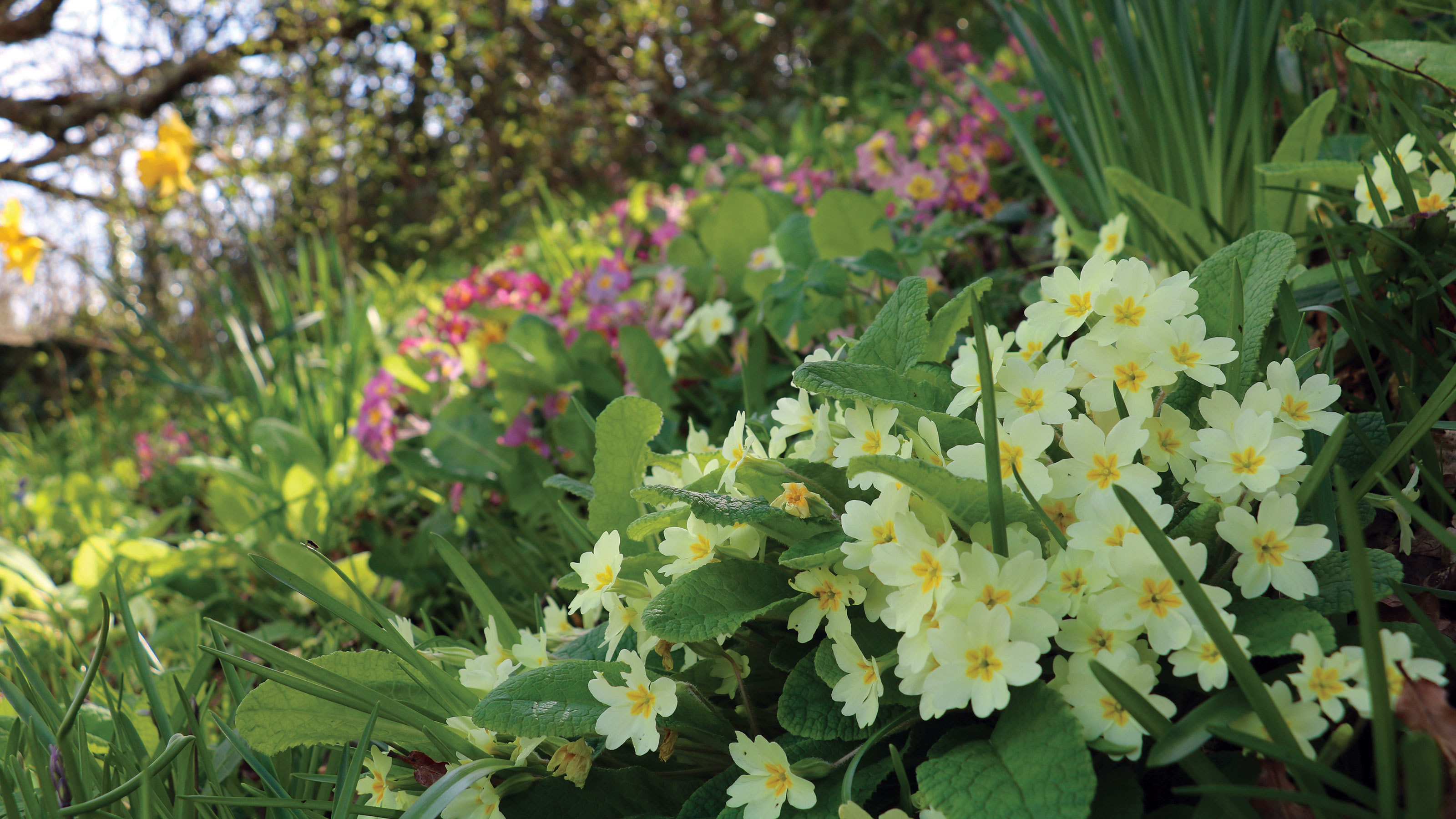 Primroses-under-woodland-canopy-at-Shorefield-Country-Park