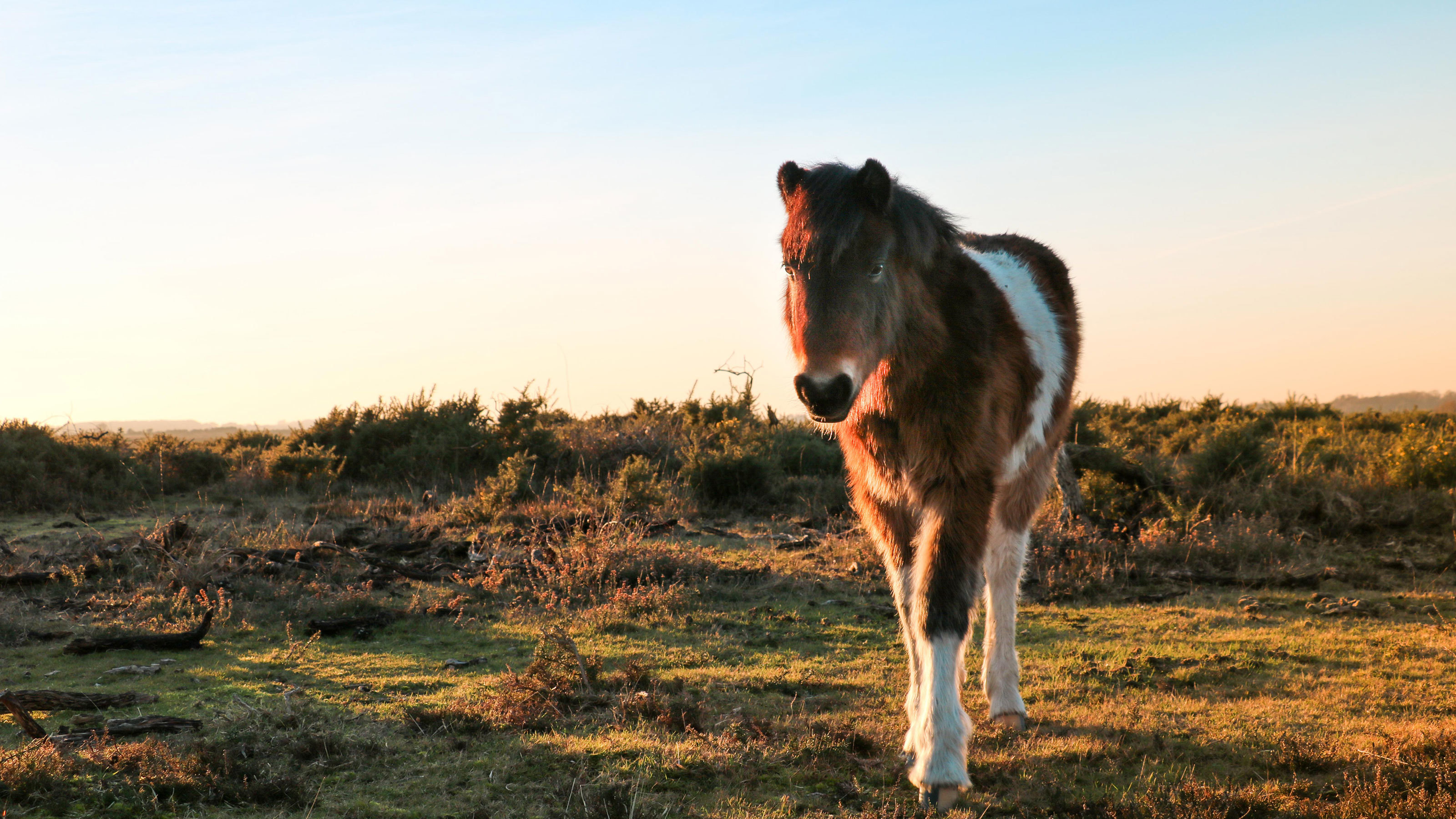 New-Forest-Horse