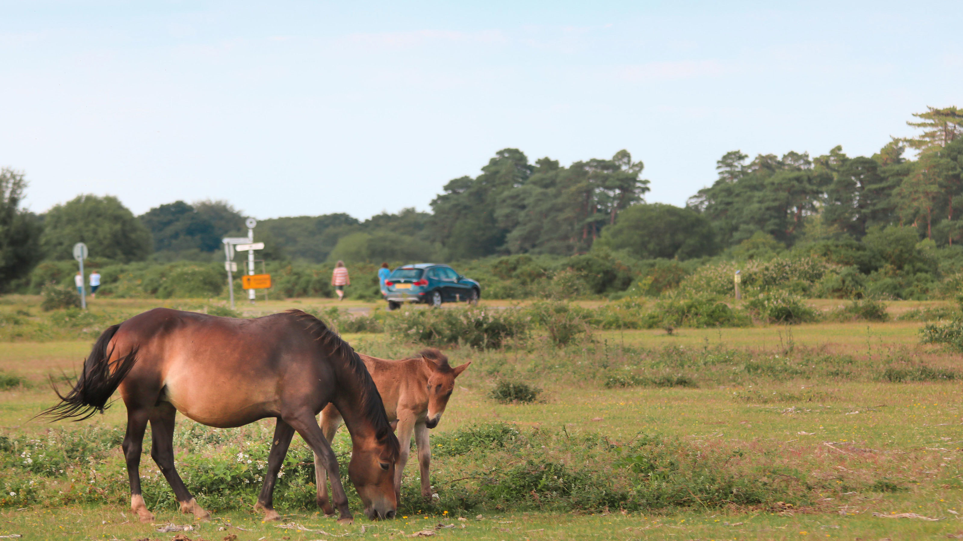 New-Forest-Horses