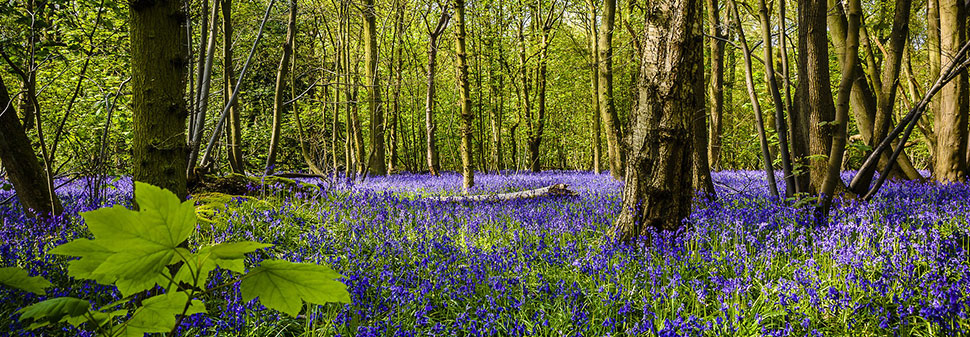 Bluebells in the New Forest