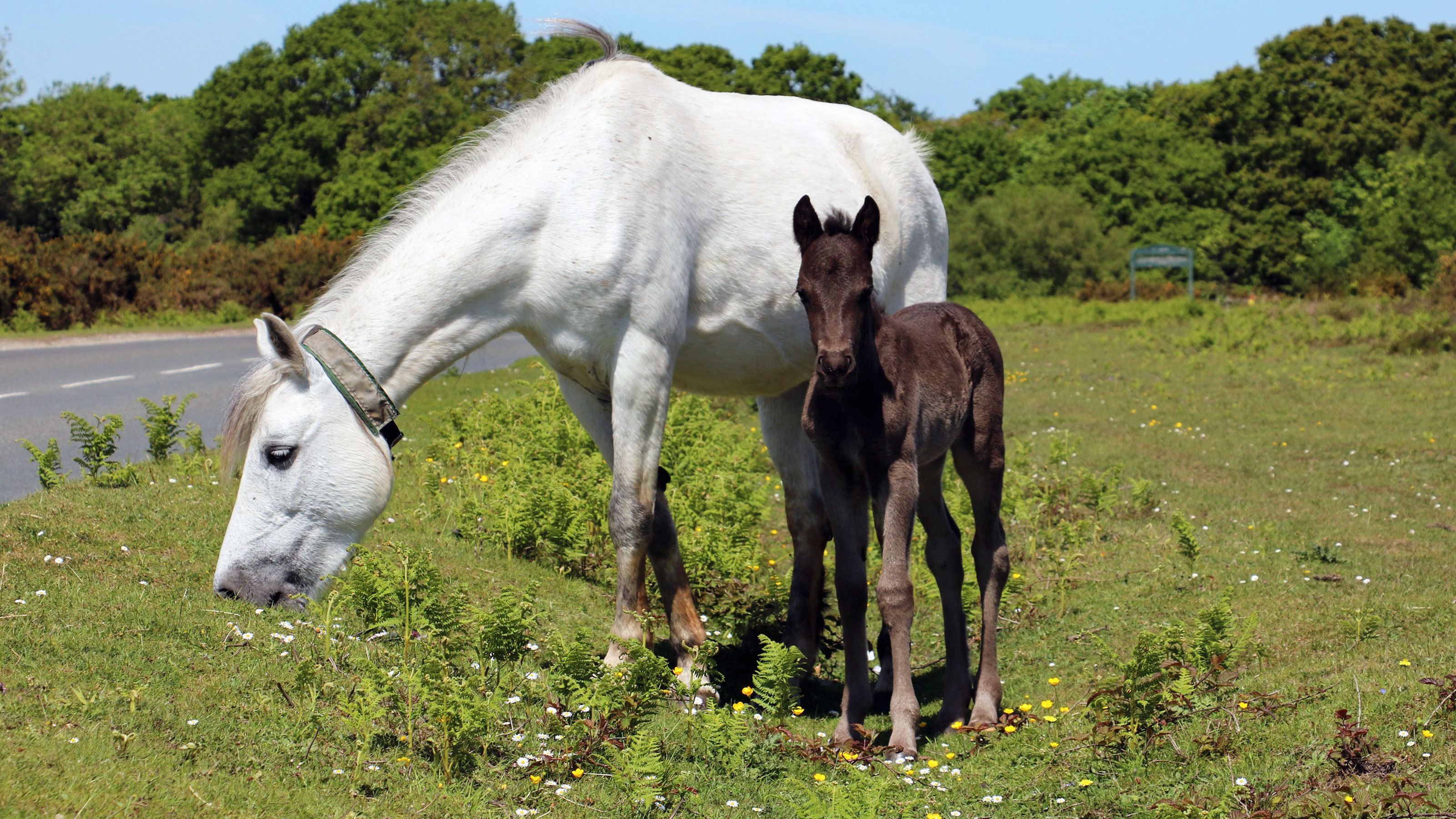 New-forest-foal