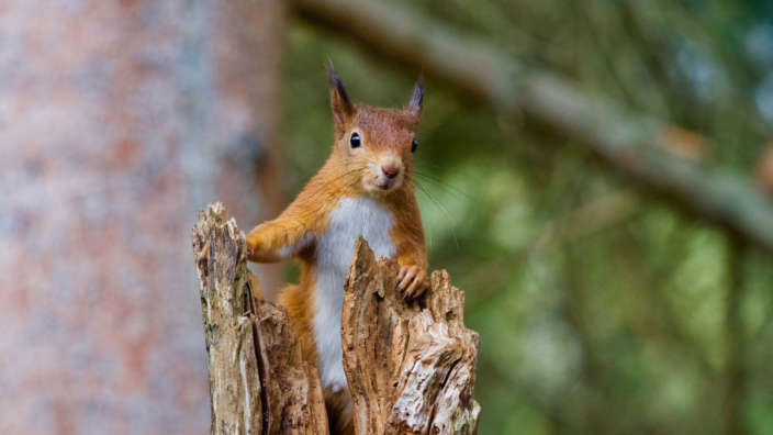 A-red-squirrel-on-a-tree-trunk