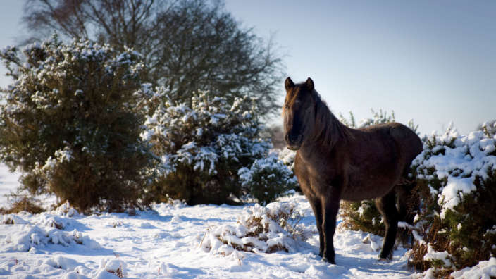 New Forest Pony In The Snow
