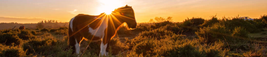New-Forest-pony-at-sunset