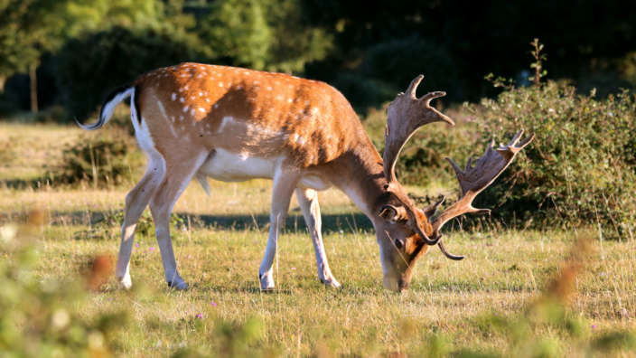 2 Deer At Stoney Cross New Forest