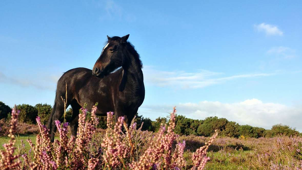 New Forest Pony In Colourful New Forest Heathland