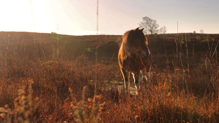 New Forest pony in the autumn sun