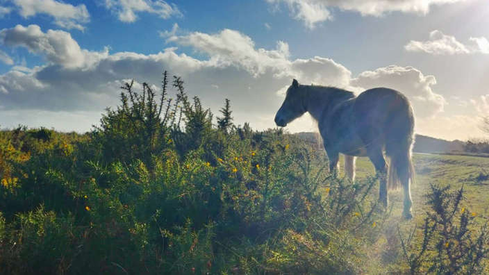 New Forest Pony Gorze Hampshire