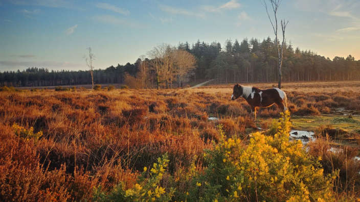 4 New Forest Landscape Pony