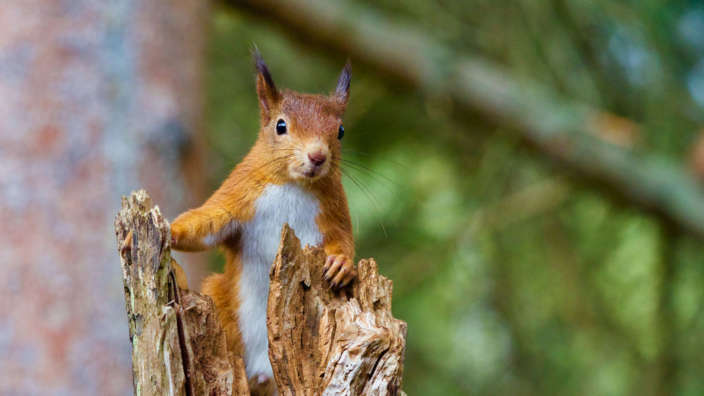 5 Red Squirrel At Brownsea Island