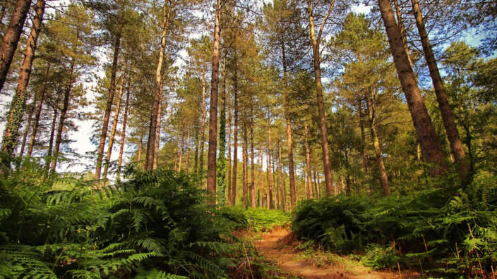 1 Hurn Forest Woodland Nature