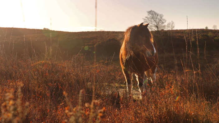 3 New Forest Pony Sunset Heathland