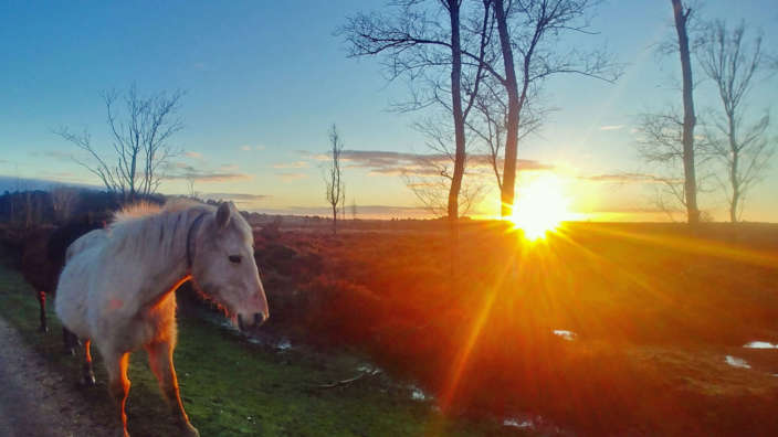 New-Forest-pony-in-the-sunset