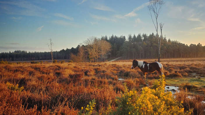 New Forest Pony Landscape